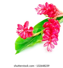 Colorful flower, Red Ginger or Ostrich Plume (Alpinia purpurata) isolated on a white background
