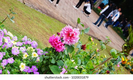 Colorful Flower in Winter Season from Doi Tung, Mountain in Chiang Rai, North of Thailand