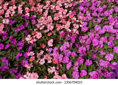 Colorful flowerbed of Busy Lizzie, scientific name Impatiens walleriana.  Blossoms in pink, orange, white or red. Summer flowers Impatiens walleriana.