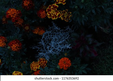 Colorful flowerbed in the night. Marigolds in different colours. There is also a Astilbe in the picture.