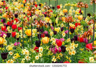 Colorful flowerbed with spring flowers like tulips, daffodil and imperial fritillary