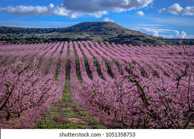 Colorful flowering in the peach fields. (Aitona, Lerida, Catalonia, Spain)