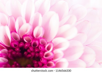 Pink flowers background images stock photos vectors shutterstock colorful flowers chrysanthemum made with gradient for backgroundabstracttexturesoft and blurred mightylinksfo