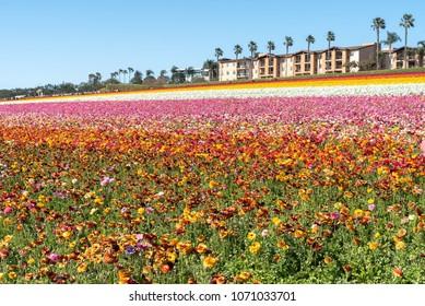 Colorful flowers field, Carlsbad, California