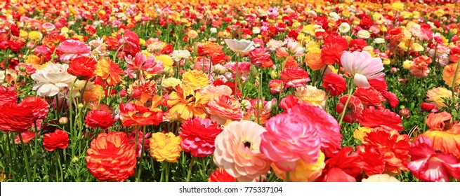 Colorful flowers field landscape. Blooming glade of garden buttercups. Panorama