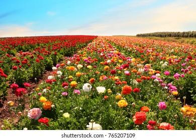 Colorful flowers field landscape. Garden buttercups blooming