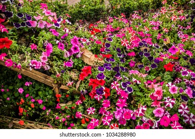 Colorful flowers  in a garden at Chiangmai Thailand.