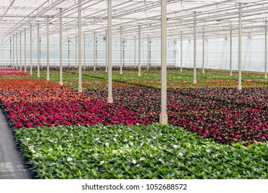 Colorful flowers in a greenhouse nursery specialized in the cultivation of Busy Lizzy or Impatiens walleriana plants.
