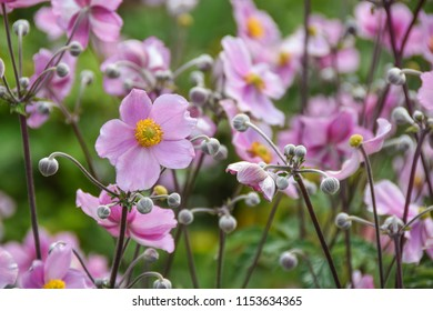 Colorful flowers - Japanese Anemone