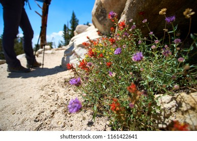 Colorful flowers on the John muir trail in California