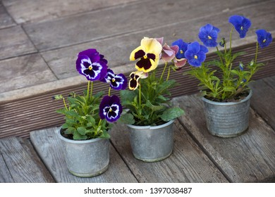 Colorful flowers pansies in a pot. Violas or Pansies Closeup in a Garden. Gardening.