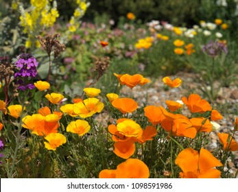 Colorful flowers in a park, California poppy