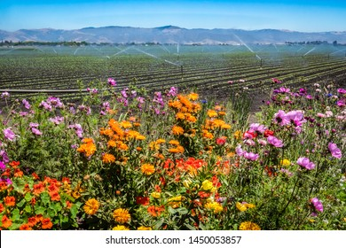 Colorful flowers are planted near a field of agricultural crops, as a field irrigation sprinkler system waters farmland in the Salinas Valley of central California, in Monterey County.