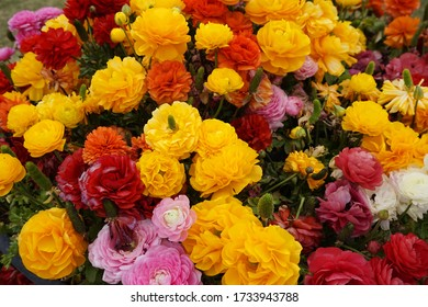 The Colorful flowers set. Ranunculus flower background. Fresh ranunculus with buds.
