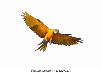 Colorful flying blue and gold macaw parrot isolated on white background.