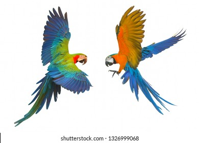 Colorful flying parrot isolated on white, Red and Blue Macaw and Blue and Gold Macaw