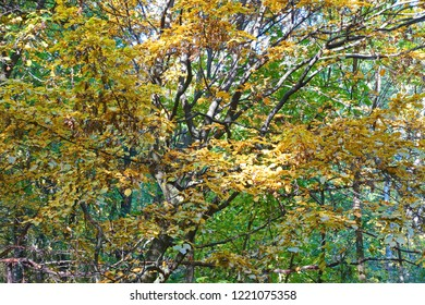 Colorful foliage and  branches of  the hornbeam trees. Natural expressionism.