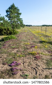 Colorful footpath with blossom flowers in purple and yellow colors at the island Oland in Sweden