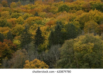 Colorful forest with pine trees in fall. Fall colors.
