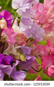 Colorful & Fragrant Sweet Pea Flowers