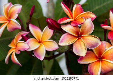 Colorful Frangipani Flower. Exotic yellow, white and pink flowers Plumeria close-up. Spa flower