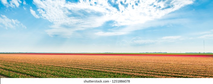 Colorful fresh Dutch red and white tulips blooming under a sunny, blue sky at flower fields in Holland