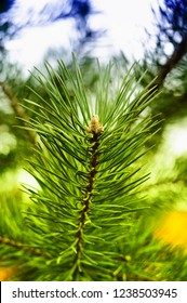 Colorful fresh green young pine branch close-up.