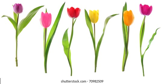 Colorful fresh spring tulips flowers in a row isolated on white background