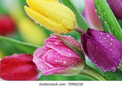 Colorful fresh spring tulips flowers with dew drops. Close-up with shallow DOF.