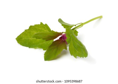 Colorful fresh young raw heirloom tree spinach leaf isolated on white background