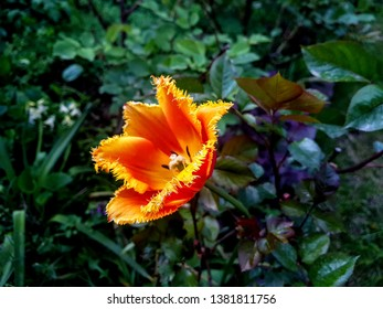A colorful fringed tulip in orange, red and yellow - Davenport