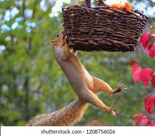 Colorful funny fall scene of a squirrel hanging from a basket swinging in the air.
