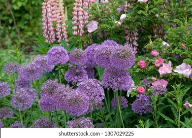 Colorful Garden Border with Allium, Lupins and Dog Roses
