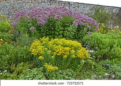 Colorful garden border with Large Eupatorium maculatum and Solidago 'Golden Showers'