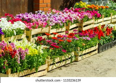colorful garden flowers in greenhouse boxes for sale