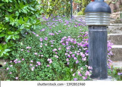 Colorful garden with Mirabilis in springtime