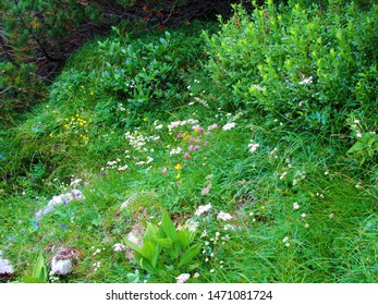 Colorful garden of yellow blooming alpine  rock rose (Helianthemum alpestre) wildflowers, white blooming great masterwort (Astrantia major), red clover (Trifolium pratense) in the Kamnik savinja alps