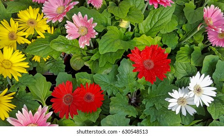 colorful gerbera daisy plants in flowerbed