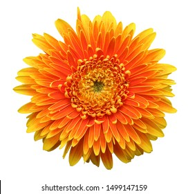 Colorful Gerbera flower blossom isolated on white background.
