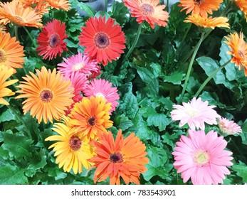 Colorful Gerbera in the garden