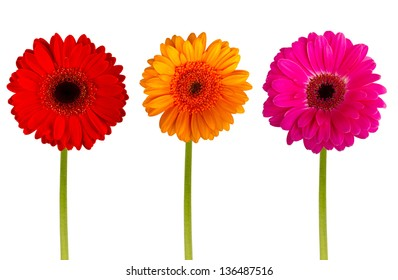 Colorful gerbers flowers isolated