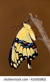 Colorful giant swallowtail butterfly on a branch.