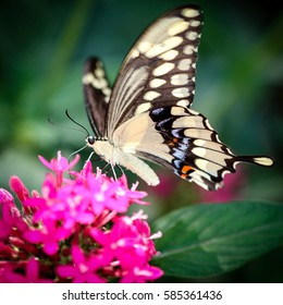 A colorful Giant Swallowtail Papilio Cresphontes butterfly.