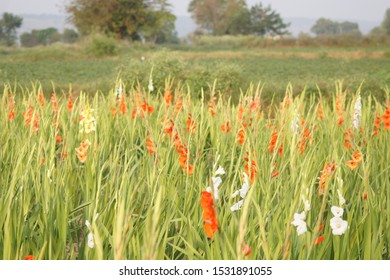 colorful gladiolus flower field - selective focus