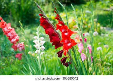 Colorful gladiolus on a bed