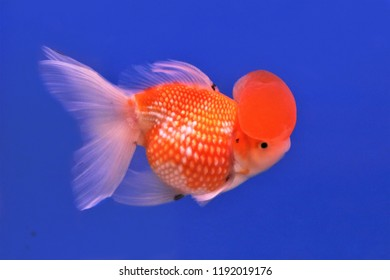 Colorful of Gold fish in fish tank. Carassius auratus, Peal Scale Goldfish is one of the most popular ornamental fish.