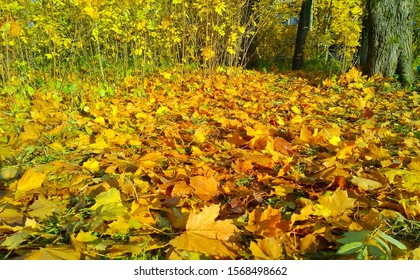 Colorful Golden autumn in the city park. Carpet of fallen yellow, orange maple leaves on the ground. Fall Scene background. Ecology concept. Beautiful season landscape. Protect and love nature.