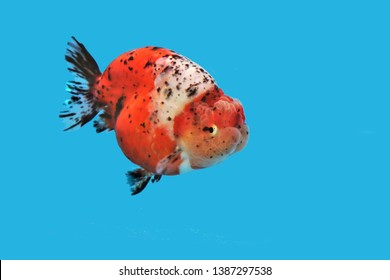 The colorful goldfish (Carassius auratus) on isolated blue background. Lion head goldfish is one of the most popular ornamental fish.