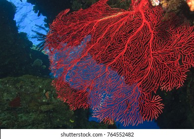 colorful Gorgonian Sea Fan, Bligh Water, Viti Levu, Fiji, South Pacific