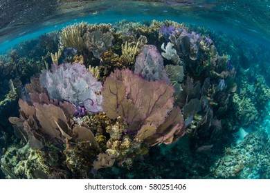 Colorful gorgonians and other corals grow on the edge of the world famous Blue Hole found in the Caribbean Sea off the coast of Belize. This area is popular for scuba diving and snorkeling.